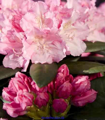 yakushimanum hybriden kompakt wachsende rhododendren. Black Bedroom Furniture Sets. Home Design Ideas