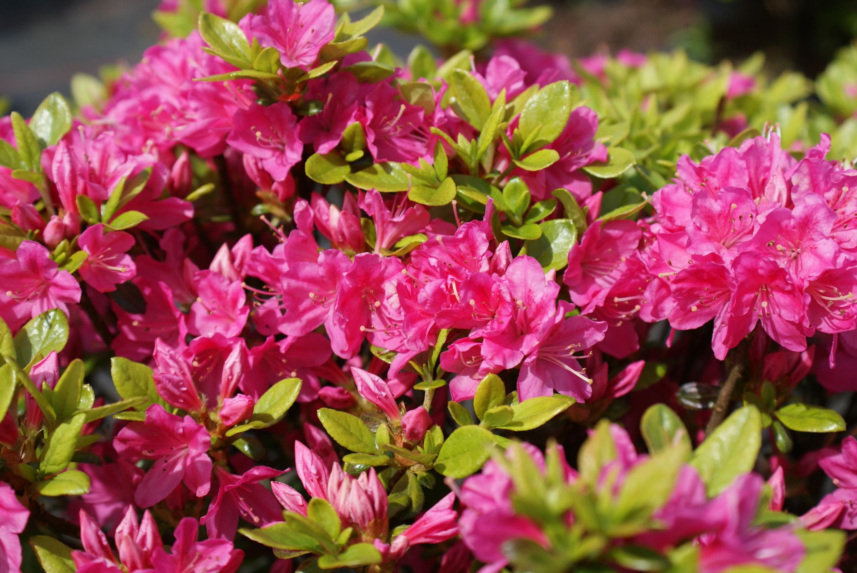 japanische azalee kermesina rhododendron obtusum. Black Bedroom Furniture Sets. Home Design Ideas
