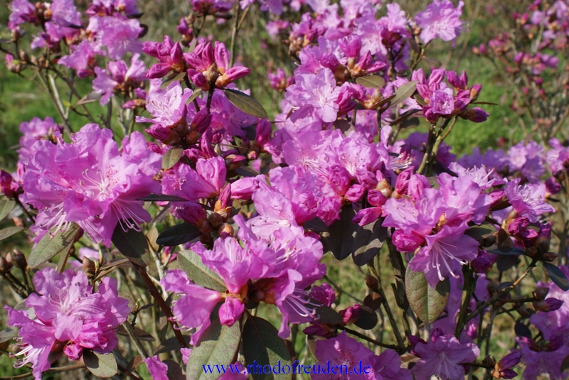 rhododendron p j mezitt fr hbl her mit duftenden bl ttern. Black Bedroom Furniture Sets. Home Design Ideas