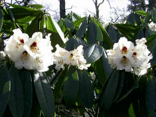 Rhododendron calophytum